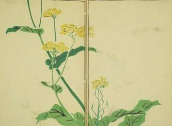 菜の花図.jpg